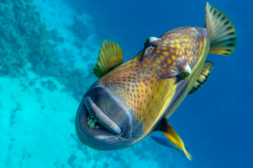 Titan triggerfish (Balistoides viridescens) in the coral reef in Red Sea
