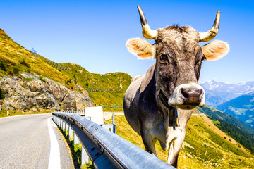 Wall Mural - cow at an old country road