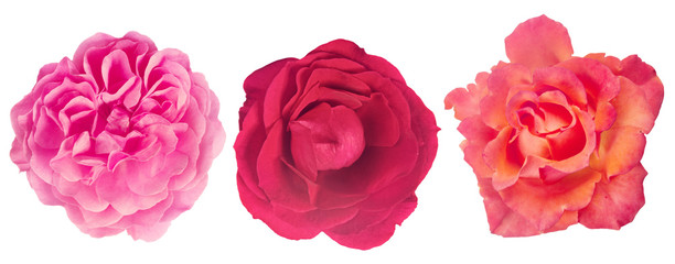 isolated three fine rose blooms