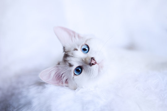 White kitten with blue eyes relaxes in bed
