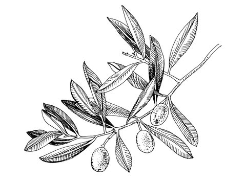 Hand drawn olive tree branch
