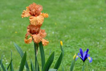Iris. Orange and brown flowers in garden.