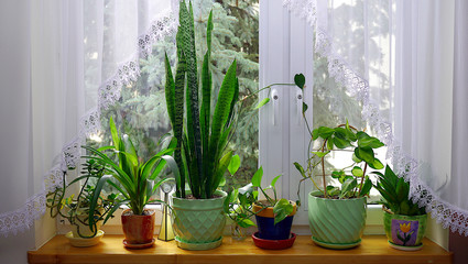 Obraz Domowy ogród na parapecie. Kwiaty, rośliny, doniczki stoją przy oknie. Wiosenny domowy ogród,  aranżacja kwiatów w domu, wystrój wnętrz. - fototapety do salonu