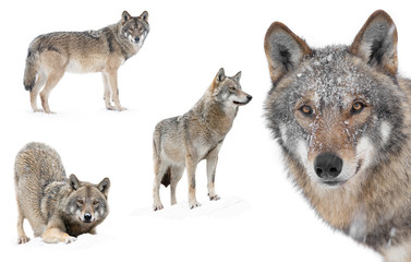 Collage of wolves in winter isolated on a white background.