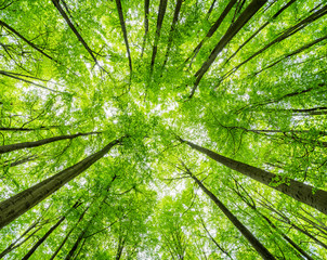 Obraz Green Forest of Beech Trees, looking up, low angle shot - fototapety do salonu