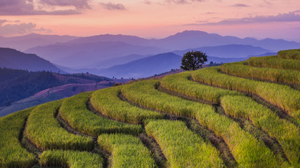 Garden Poster Rice fields Rice fields Before harvesting sunset Farmer's house Terraced rice paddy field in Chiang Mai, Thailand.View image panorama