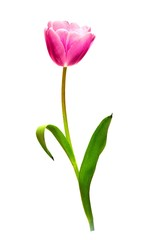 one pink tulip isolated on white background