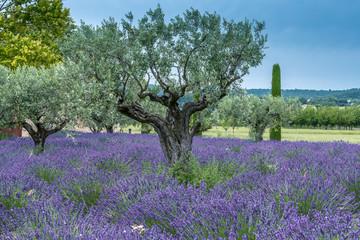 Photo sur Toile Oliviers Lavendelfeld mit Olivenbäumen in der Provence