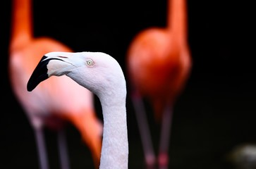 Tuinposter Flamingo Portrait of a white flamingo