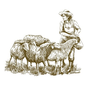 Female farmer feeds the sheep. sketch on a white background. animal husbandry