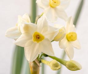 Papiers peints Narcisse Narcisse fleur de printemps