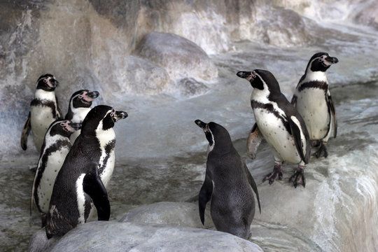 Group of Galapagos penguins in the zoo's enclosure