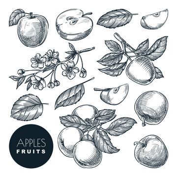 Apple sketch vector illustration. Sweet fruits harvest, hand drawn garden agriculture and farm isolated design elements