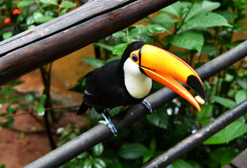 variegated black and yellow toucan in vivo in a national park in brazil