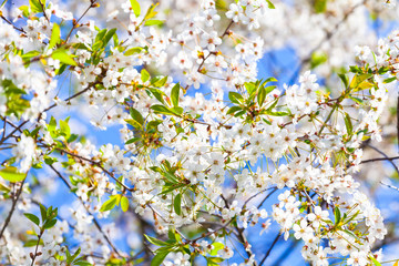 Wall Mural - Cherry blossom. Branches with white flowers