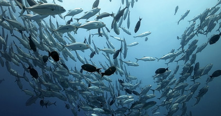 Amazing shoal of fish in the Pacific Ocean. Underwater marine life with tropical bigeye jack fish in the blue water. Diving in the Ocean