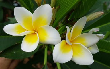 Fotorollo Plumeria Plumeria, frangipani