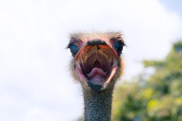 Poster Struisvogel avestruz