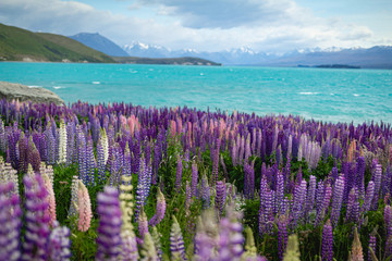 Wild lupins growing along the shore of Lake Tekapo in New Zealand