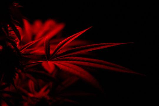 red cannabis leaf on black background
