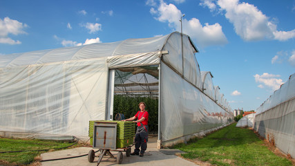 Portrait of Tomato Grower at Commercial Greenhouse Farm