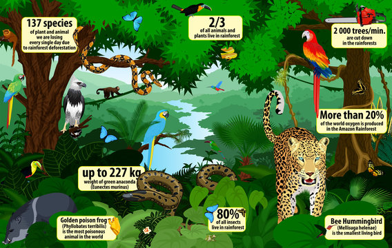vector rainforest  infographic with animals illustration . Green Tropical Forest jungle with parrots, jaguar, boa, peccary, harpy, monkey, frog, toucan, anaconda and butterflies