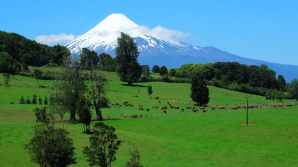 Wall Mural - Herd of cows graze on the green perfect field with snow capped volcano of Osorno on the background. Chilean Patagonia