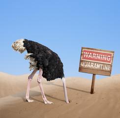 Fotorolgordijn Struisvogel scared ostrich with head in sand near warning quarantine wooden signboard.