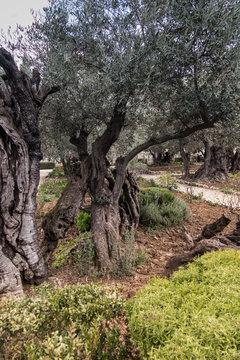 Old olive trees in the garden of Gethsemane, Jerusalem