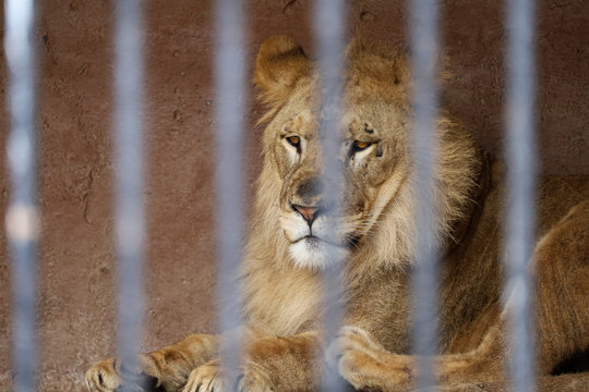 Sad lion behind a cage in a zoo