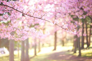 Deurstickers Kersenbloesem 明るい桜の写真 日本の風景 cherry blossom
