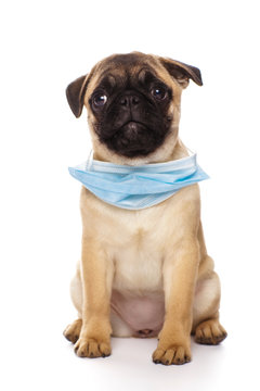 Pug puppy wearing a face medicine mask