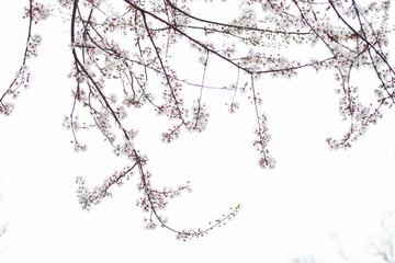 Photo sur Plexiglas Printemps tree in blossom