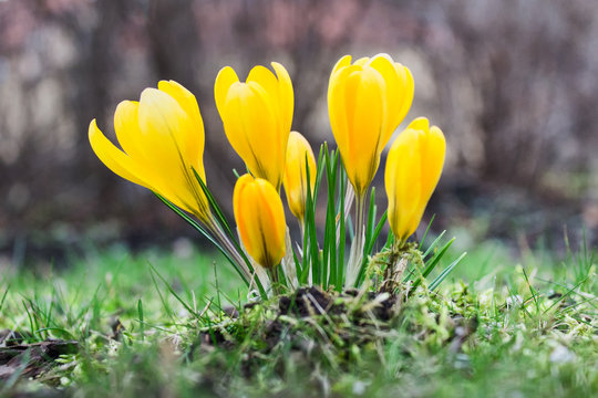 Close up of yellow crocus flowers in springtime.