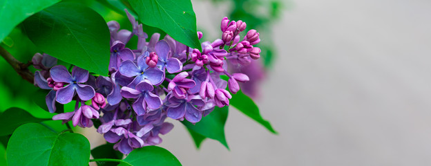 Spoed Fotobehang Lilac Fresh pink and purple lilac branch macro, copyspace, selective focus, toned, banner