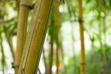 Bamboo in the bamboo forest