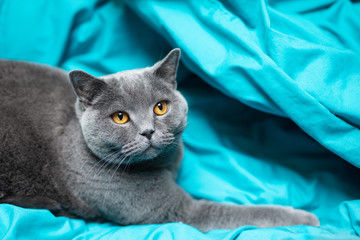 British cat relaxing on blue bed sheet . British shorthair