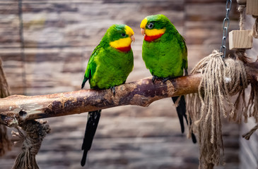 Photo sur Toile Perroquets Beautiful couple of green parrots, sitting on branch in aviary