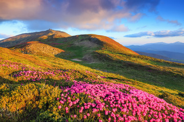Photo sur Aluminium Lavende A lawn with flowers of pink rhododendron. Mountain landscape with beautiful sky and clouds. A nice summer day. Location Carpathian mountain, Ukraine, Europe.
