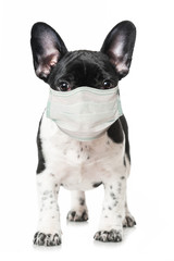 French bulldog puppy with mouth protection isolated on white
