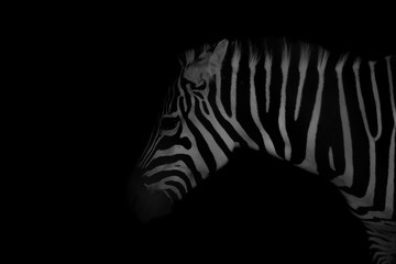 Photo sur Toile Zebra Perfil zebra com fundo preto low key