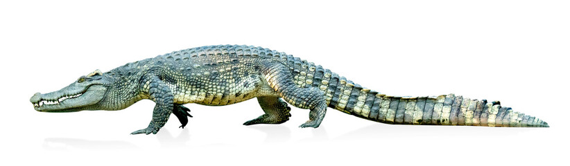 Fototapeten Crocodile crocodile isolated on white background ,include clipping path
