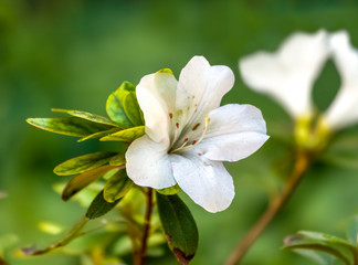 white azalea flower closeup with blurred background