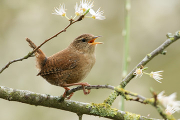 A beautiful singing Wren perched on a blackthorn tree in blossom. Fotomurales