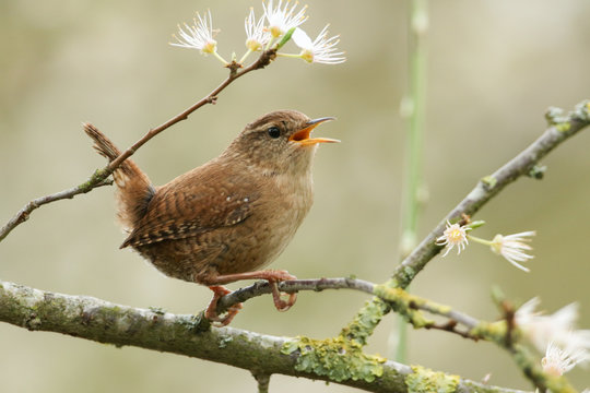 A beautiful singing Wren perched on a blackthorn tree in blossom.
