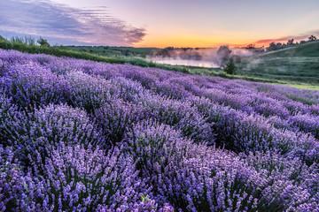 Photo sur Plexiglas Lavande Colorful flowering lavandula or lavender field in the dawn light.