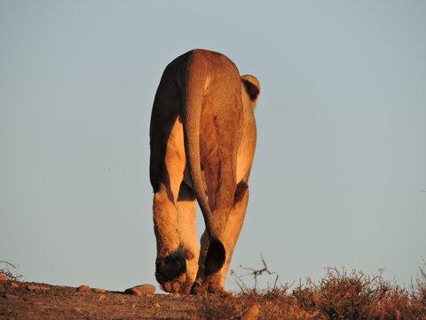 Lion Walking Away