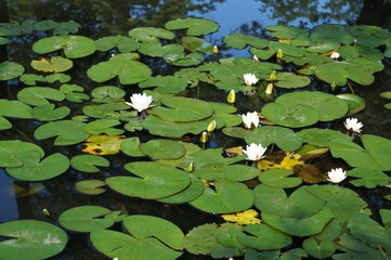 Stores photo Nénuphars flowers on the water lilies and green leaves round view