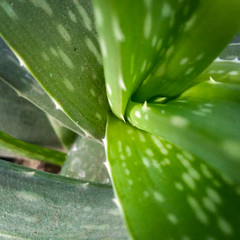 aloe vera green leaves with water drops background