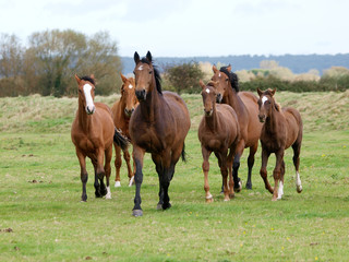 Fototapeta Mares and Foals